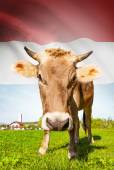 Cow with flag on background series - Luxembourg — Stock Photo