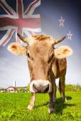 Cow with flag on background series - New Zealand — Stock Photo