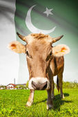 Cow with flag on background series - Pakistan — Стоковое фото