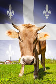 Cow with flag on background series - Quebec — Stock Photo