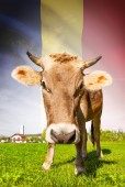 Cow with flag on background series - Romania — Stock Photo