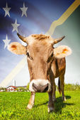Cow with flag on background series - Solomon Islands — Stock Photo