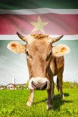 Cow with flag on background series - Surinam — Stock Photo