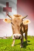 Cow with flag on background series - Tonga — Stock Photo