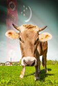 Cow with flag on background series - Turkmenistan — Stock Photo