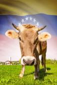 Cow with flag on background series - Venezuela — Stock Photo