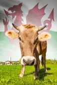 Cow with flag on background series - Wales — Stock Photo
