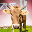 Cow with flag on background series - Bermuda — Stock Photo #55934641