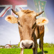 Cow with flag on background series - British Virgin Islands — Stock Photo #55934645