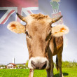 Cow with flag on background series - Cayman Islands — Stock Photo #55934651