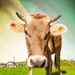 Cow with flag on background series - French Guiana — Stock Photo #55934663