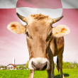 Cow with flag on background series - Greenland — Stock Photo #55934673