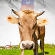 Cow with flag on background series - Mayotte — Stock Photo #55934689
