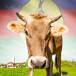 Cow with flag on background series - New Caledonia — Stock Photo #55934695