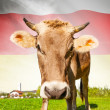 Cow with flag on background series - South Ossetia — Stock Photo #55934713