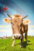 Cow with flag on background series - Aruba — Stock Photo