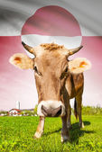 Cow with flag on background series - Greenland — Stock Photo