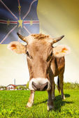 Cow with flag on background series - Niue — Stock Photo