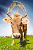 Cow with flag on background series - Commonwealth of the Northern Mariana Islands — Stock Photo