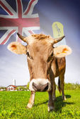 Cow with flag on background series - Saint Helena — Stock Photo