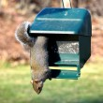 Squirrel — Stock Photo #62308701
