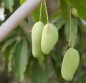 Green mango on tree — Stock Photo