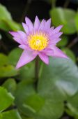 Pink Lotus in pond — Stock Photo