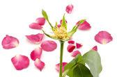 ροδαλό λουλούδι που απομονώνονται σε λευκό — Φωτογραφία Αρχείου