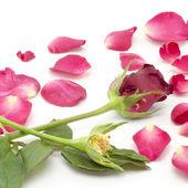 Rose flower isolated on white — Stock Photo
