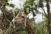 Funny Giraffe head — Stockfoto