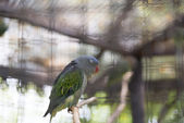 Blue-rumped Parrot — Stock Photo