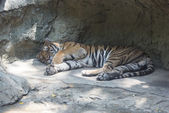 Sleep tiger — Stockfoto