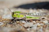 Side view of migratory locust in wilderness — Stock Photo