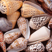 Nice snail-houses from the south-sea at a flea market — Stock Photo