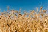 Altın buğday — Stok fotoğraf