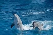 Playful dolphins — Stock Photo