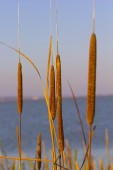 Cattail against in the blue sky and lake on background — Stock Photo