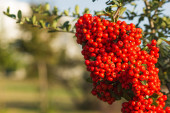 Close up a red berry Pyracantha Coccina shrub — Stock Photo