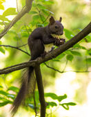 Squirrel gnaws nuts in the tree — Stock Photo