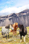 Icelandic Horses on Iceland — Stock Photo