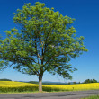 Solitaire deciduous tree with an asphalt road in front of a flowering rape field — Stock Photo #52921829