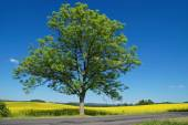 Solitaire deciduous tree with an asphalt road in front of a flowering rape field — Stock Photo