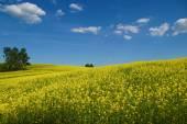 Campos de estupro floração ondulado, subindo até o horizonte — Fotografia Stock