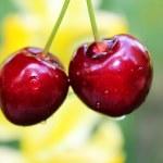 Two maroon cherry — Stock Photo #53292857