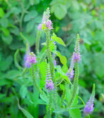 Purple loosestrife — Stock Photo