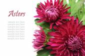 Asters flowers — Stock Photo