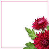 Asters flowers composition — Stock Photo