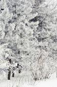Verschneite Bäume — Stockfoto