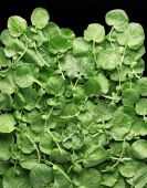 Fresh watercress — Stock Photo