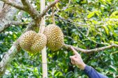 Hand pointing to durian — Stock Photo